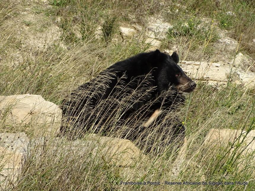 Réserve Africaine de Sigean dans l'Aude -1- Ours du Tibet