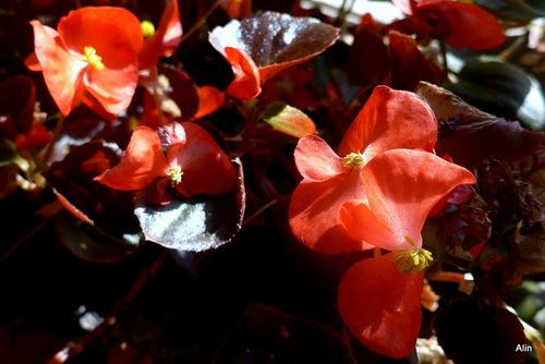 Les fleurs des bégonias ...
