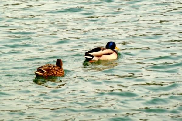 w16 - Les 2 canards