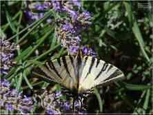 Le Flambé Iphiclides podalirius Papilionidae