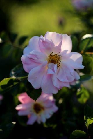 Les Roses de Warren : Rain Bird