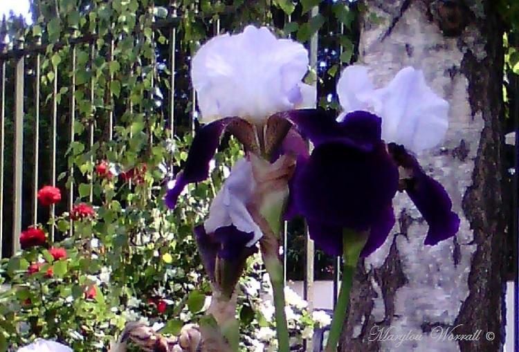 Des iris en consolation