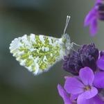 La photo du moment...papillon Aurore sur l'érysimum bowles mauve