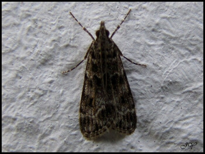 Eudonia mercurella.