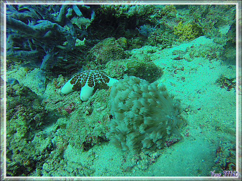 Goniopora vert, Corail Anémone, Ball coral, Green flowerpot coral, Daisy coral (Goniopora sp. possible stokesi) et Etoile-coussin granuleuse (Choriaster granulatus) - Nosy Mitsio - Madagascar