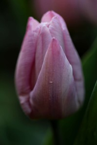 Tulipes Candy Prince3