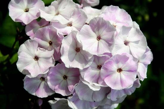 Phlox paniculata Violetta Gloriosa