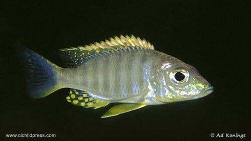 aulonocara