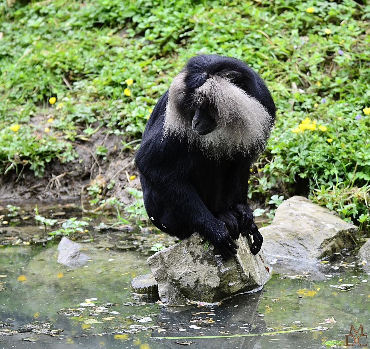 Macaque Ouanderou