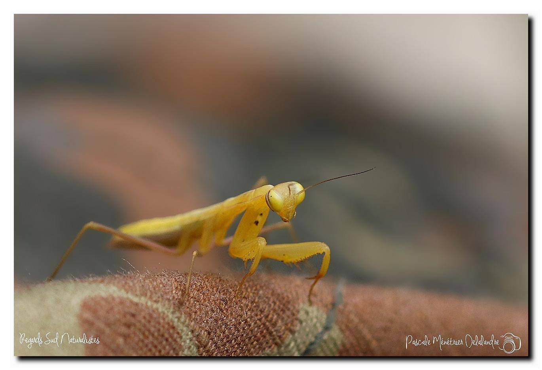 Mantis religiosa immature - Mante religieuse