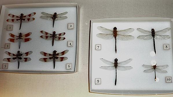 Jour 24 Victoria musée libellules