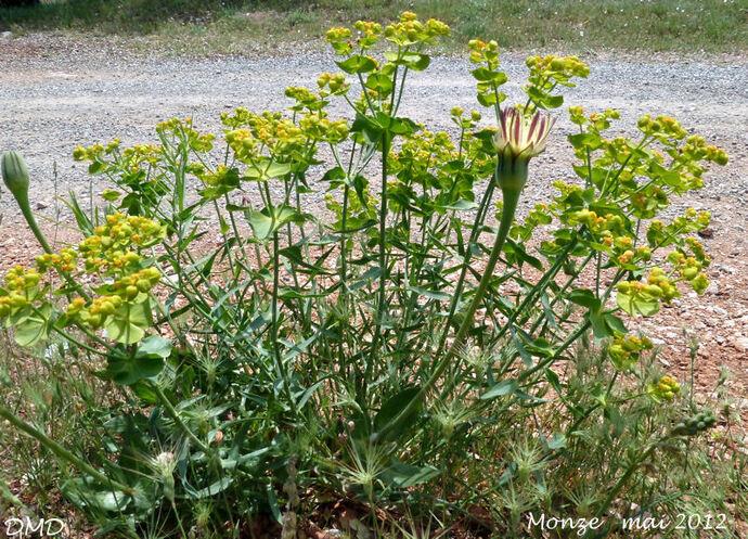 Euphorbia serrata   -   euphorbe dentée