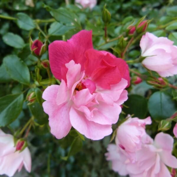 rosier-mareva---juin-2014---fantaisie-bicolore--800x800-.jpg