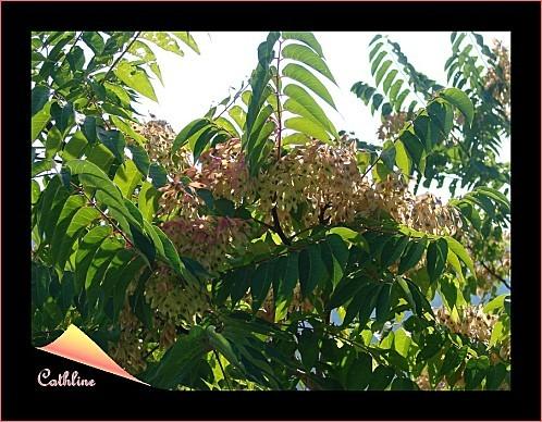 aillanthus-2.jpg