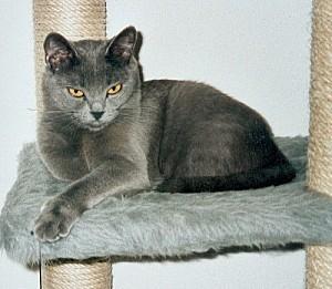 chat chartreux iman04-500