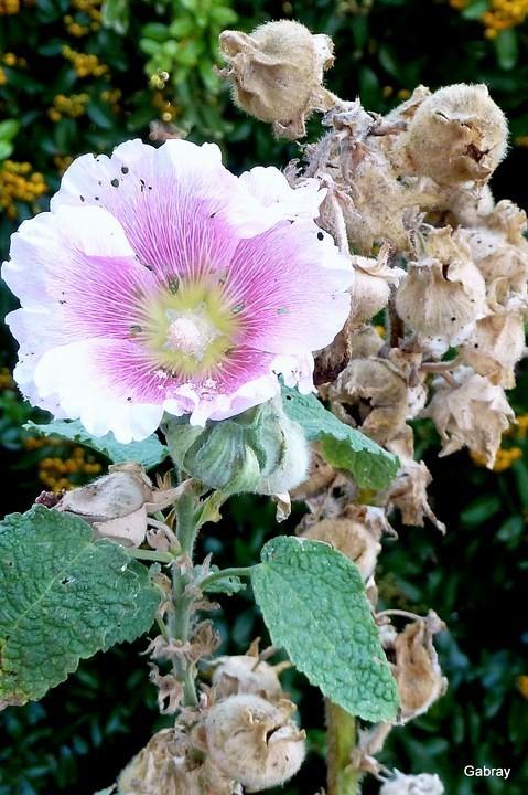 c03---Rose-tremiere.JPG