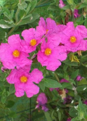 Ciste - Les fleurs