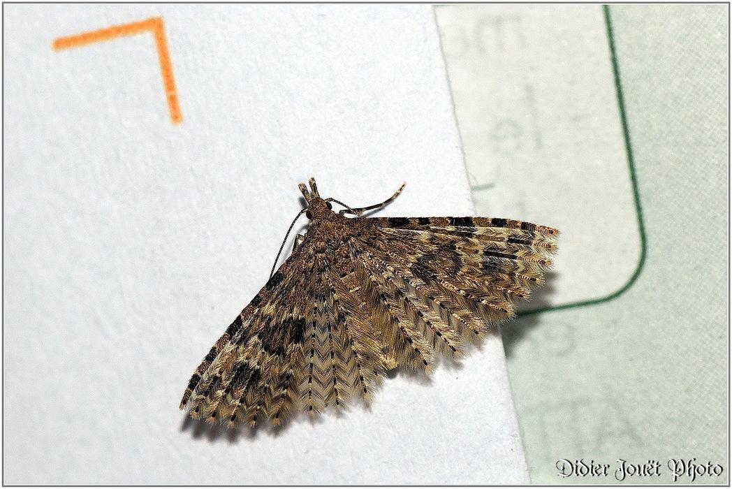 Ornéode du Chèvrefeuille / Alucita hexadactyla