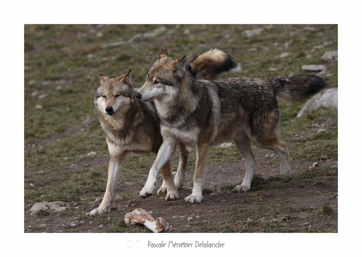 Loups de Sibérie