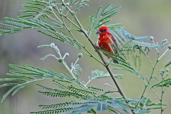 Foudi rouge - Praslin