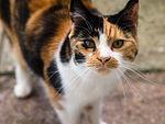 chatte tricolore ou calico