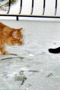Mes 2 Chats - Mimine (la mère aux poils roux et courts) et Boubou - Premiers pas dans la neige
