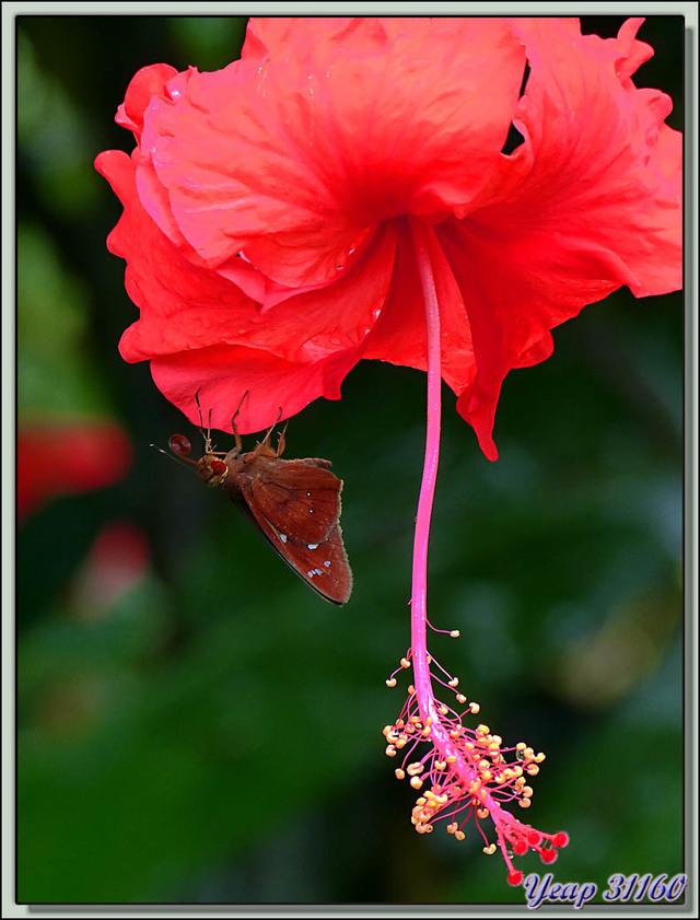 Blog de images-du-pays-des-ours : Images du Pays des Ours (et d'ailleurs ...), Papillon (Hespérie?) sur Hibiscus - Puerto Viejo de Talamanca - Costa Rica