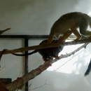 Ils cohabitent avec les petits singes saimiris - Photo : Edgar (Avril 2015)