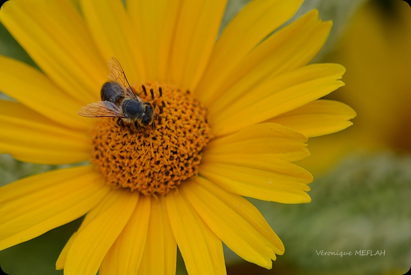 Rambouillet : Octobre : L'abeille