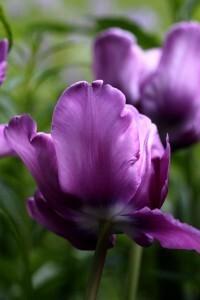 Tulipes Blue Parrot8