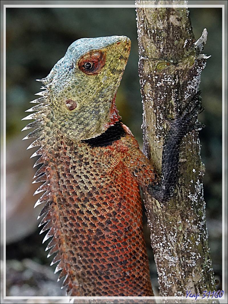 Lézard Agame arlequin « Caméléon » mâle, Common Garden Lizard, Bloodsucker, Changeable lizard (Calotes versicolor) - Moofushi - Atoll d'Ari - Maldives
