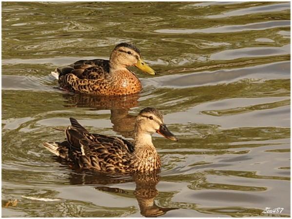 Oiseaux-3-1728-les-canards.jpg