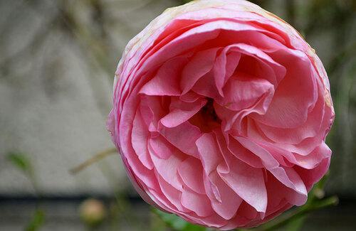 Les dernières roses.