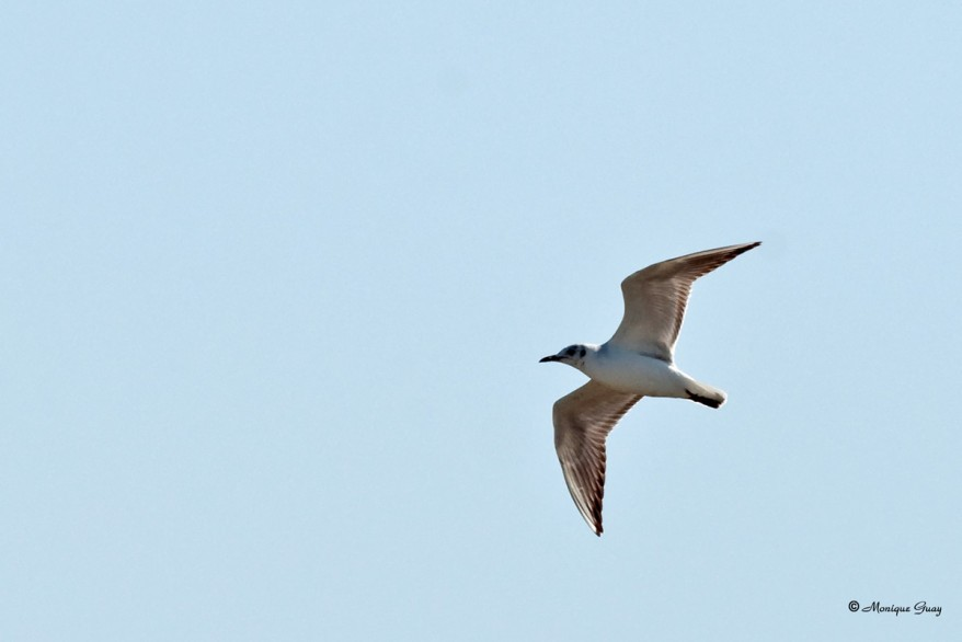 mouette-rieuse-6358.jpg