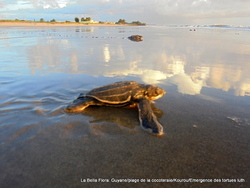 Kourou / Emergence des tortues luth/