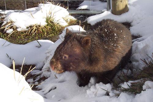 Le wombat en danger