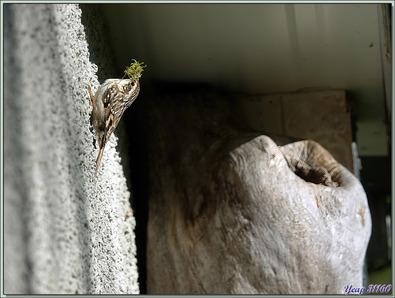 Grimpereau des jardins, Short-toed Treecreepe (Certhia brachydactyla) - Lartigau - Milhas - 31