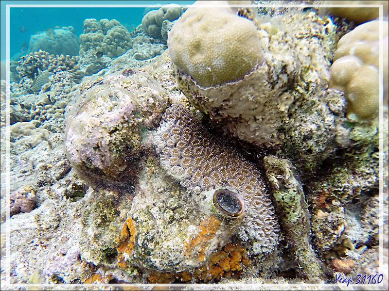 Snorkeling : Corail piquant, Corail cristal, Starburst coral, Grass coral (Galaxea fascicularis) - Moofushi - Atoll d'Ari - Maldives