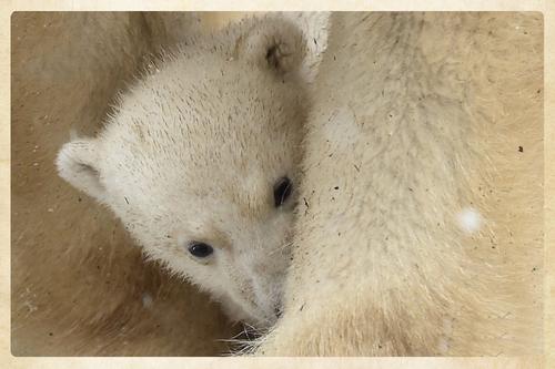l' événement : naissance d'un ours polaire au zoo de mulhouse