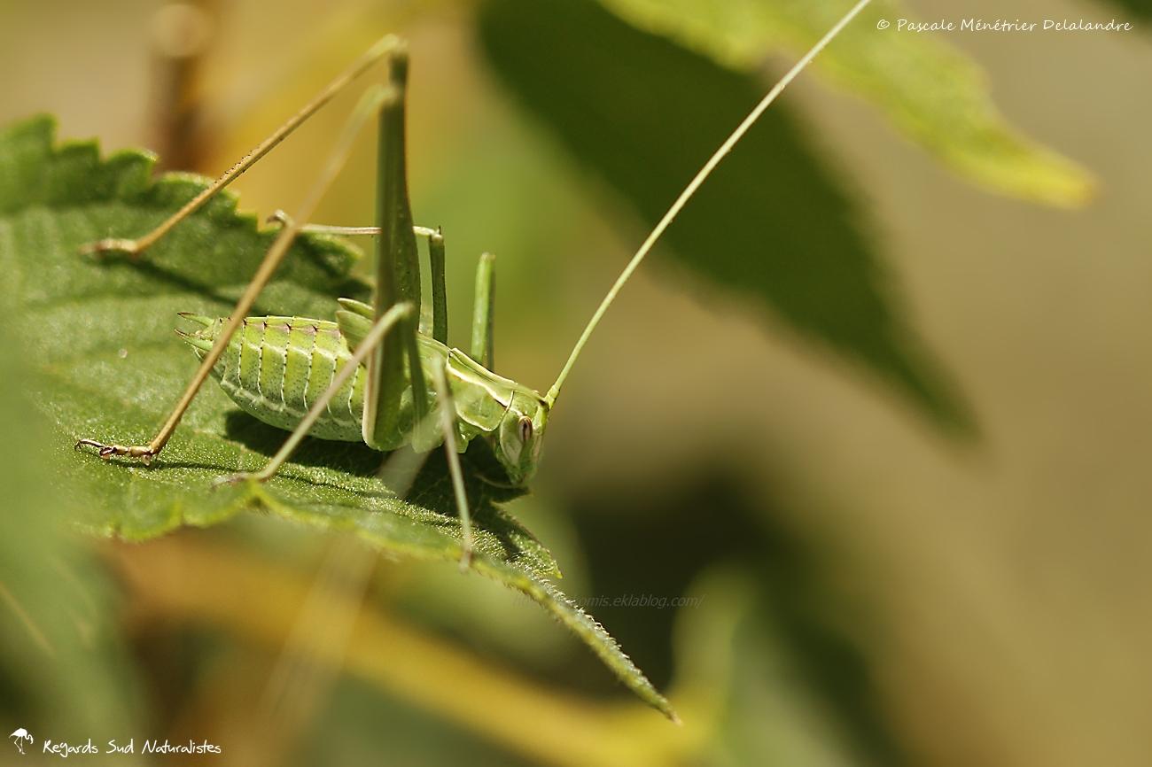 Phaneroptere liliace immature (Tylopsis lilifolia)