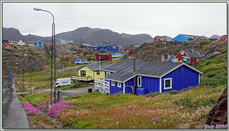 Dans les rues de Sisimiut, la fleur emblème du Groenland, la superbe Épilobe à feuilles larges, Broad-leaf fireweed (Chamerion latifolium)