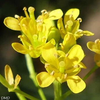 Rorippa sylvestris  -  rorippe des forêts