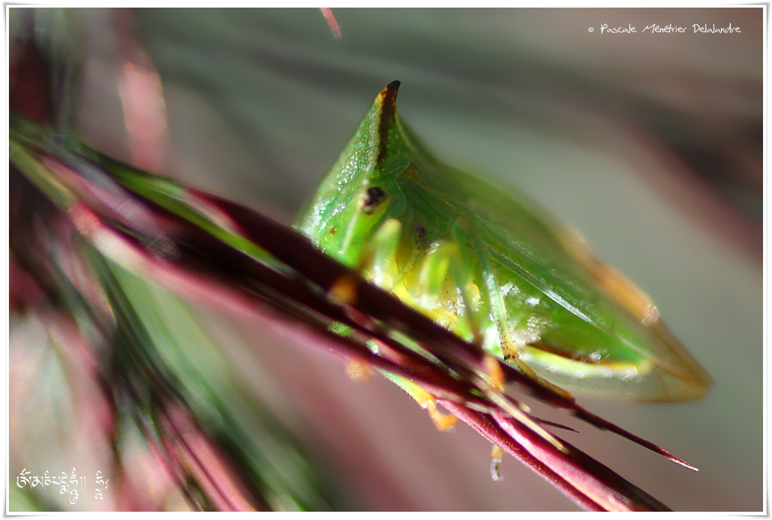 La cicadelle bubale (Ceresa bubalus ou Stictocephala bisonia)
