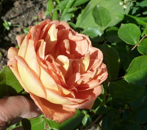 Les roses de David Austin