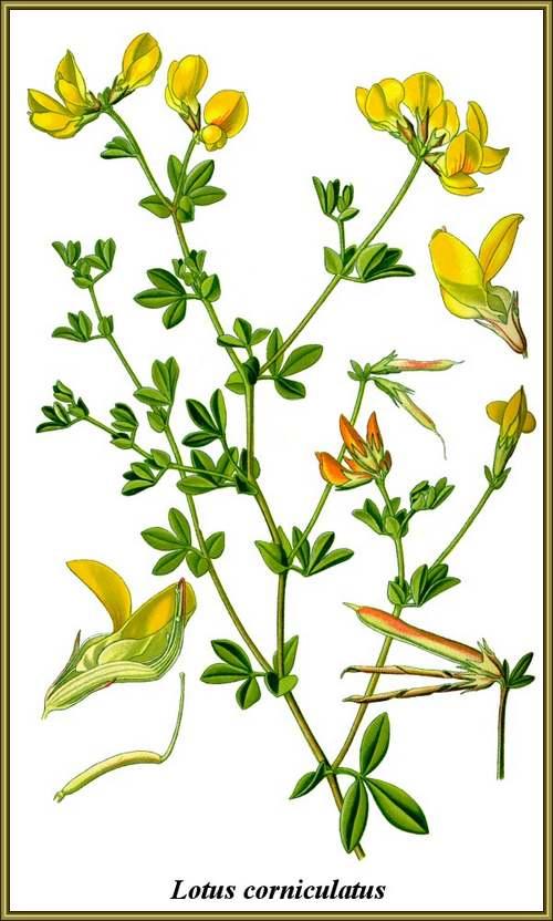 Vertus médicinales des plantes sauvages : Lotier corniculé