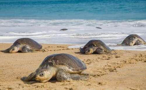122 tortues marines retrouvées mortes sur des plages du sud du Mexique