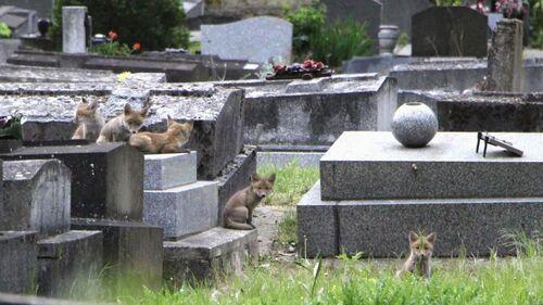 Des renardeaux dans un cimetière?
