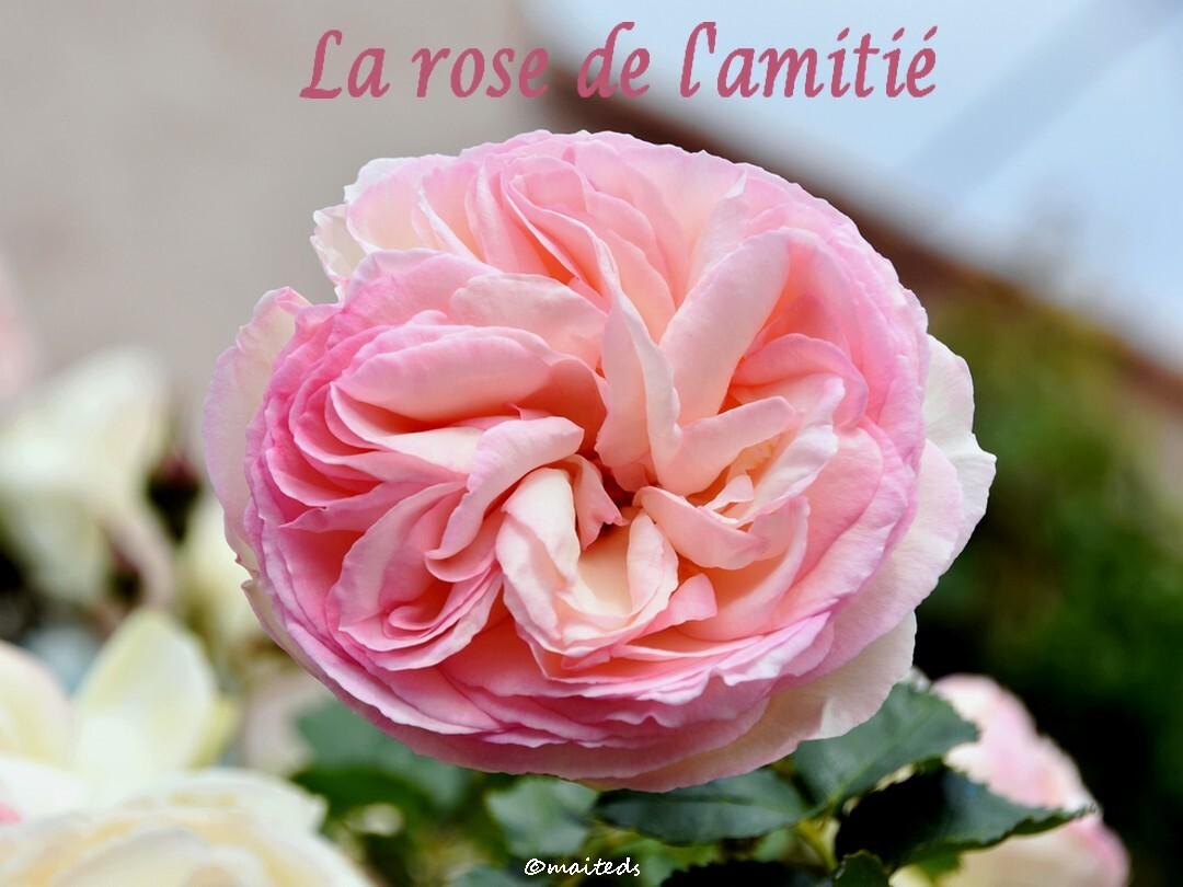 La rose de l'amitié ©maiteds
