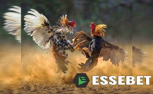 Ayam Petarung Aplikasi Ternama Di Arena S128 Apk