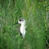 Échasse blanche au nid (Aiguamolls de l'Empordà 1 mai 2015) @ Jaime Crespo